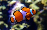 A clownfish not called Nemo
